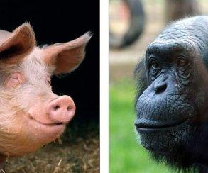 Свиньи осваивают видеоигры быстрее трехлетних детей и лучше шимпанзе